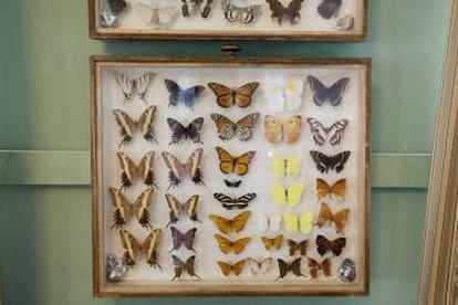 Colección de lepidópteros expuesta en el museo de Rozhdéstveno.