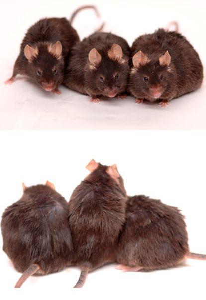 Imagen facilitada por el Instituto Nacional de Salud, de ratones de 15 meses, a los que se ha suministrado diferentes tipos de dietas.