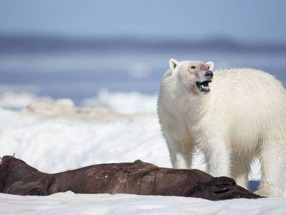Un oso polar, tras cazar a una foca en el Estrecho de Hudson (Canadá).