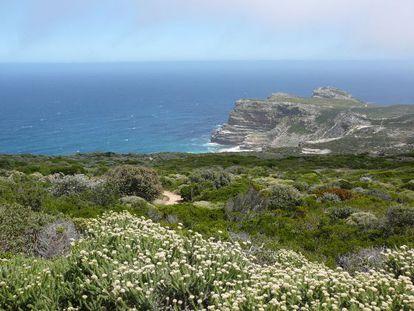Fynbos costera, detrás el Cabo de Buena Esperanza.