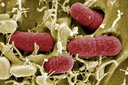 Imagen tomada por un microscopio de una bacteria tipo EHEC, cepa peligrosa de la 'Escherichia coli', facilitada por el Centro de Investigación de Infecciones Helmhotz