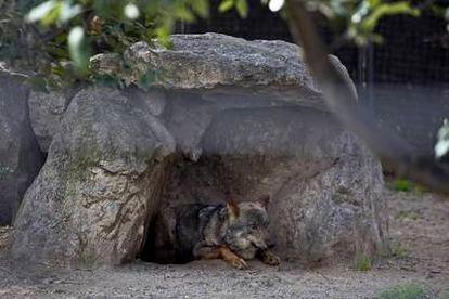 Uno de las lobos ibéricos del Zoo de Barcelona.