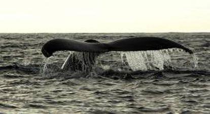 En primavera, verano y otoño, las ballenas jorobadas viven en las aguas frías del Atlántico norte, pero en los meses de invierno inician un largo recorrido hacia los mares tropicales para aparearse y dar a luz a sus crías. EFE/Archivo