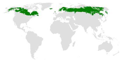 Regiones del planeta por las que se extiende la taiga, en su mayoría formada por coníferas.