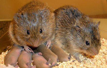 Los topillos de la pradera son una de las pocas especies de mamífero fieles a la pareja.