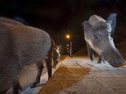 La Xunta planea combatir a estos animales con cazadores con arco