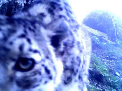Imágenes de leopardos de las nieve salvajes presentes en el documental 'Spirit of the Mountain'