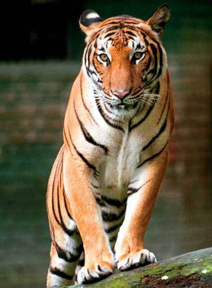 Un tigre indochino en el zoo de Kuala Lumpur (Malaisia).