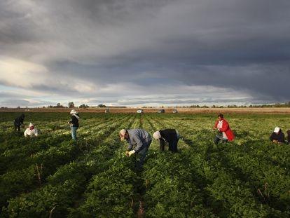 Migrantes mexicanos trabajan en el campo en Wellington, Colorado.