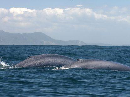 Ballena azul en los mares de Chile.