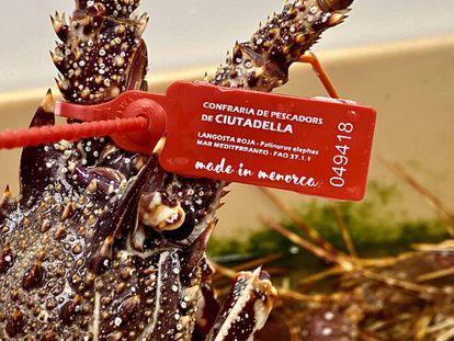 Langosta roja de Menorca con su brida obligatoria. J.C CAPEL