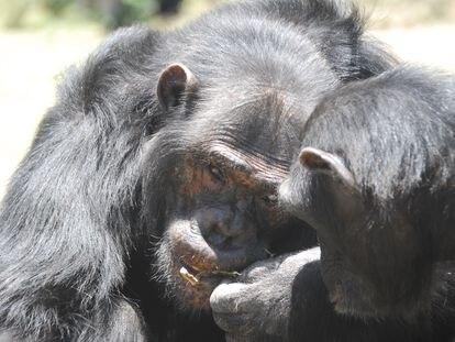 Los chimpancés saben darse pistas para urdir un plan