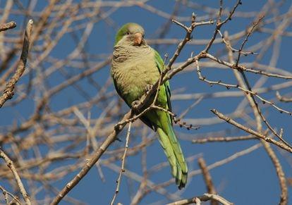Cotorra argentina en un árbol. SEO/BirdLife