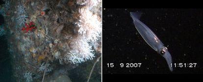 Comunidad de corales fríos <i>(Madrepora oculata),</i> a 300 metros de profundidad (izquierda), y un calamar, fotografiados en el cabo de Creus desde el submarino <i>Jago</i>.