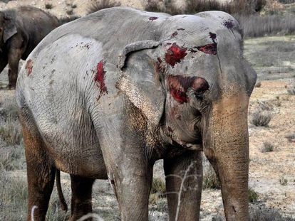 Un grupo de elefantes sueltos tras un accidente obliga a cortar la A-30 en Pozo Cañada, Albacete.