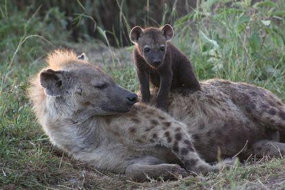 Una cría de hiena de pocas semanas reposa sobre su madre en el cubil.