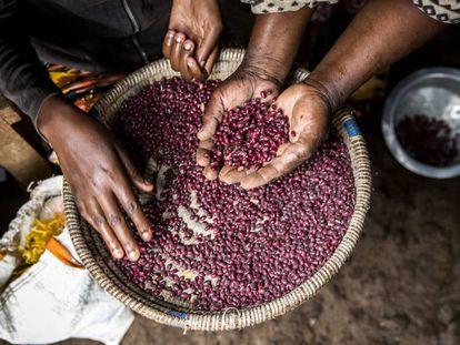 Una mujer coge un puñado de legumbres, en Kenia.