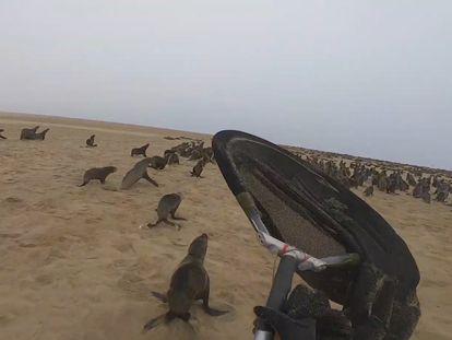 Leones marinos en Namibia a punto de ser salvados por OCN.
