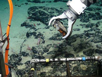 El robot Isis, del Centro Oceanográfico del Reino Unido, recoge muestras en el monte submarino Tropic de las islas Canarias.