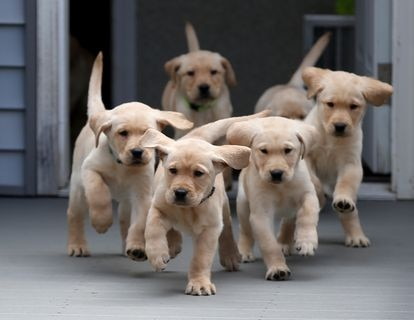 Una camada de cachorros Golden retriever de dos meses.