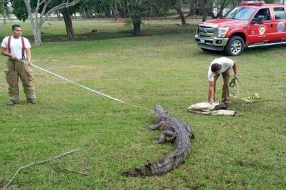 Elementos del grupo S.O.S Codrilo de Tampico capturan a un cocodrilo, en mayo de este año.