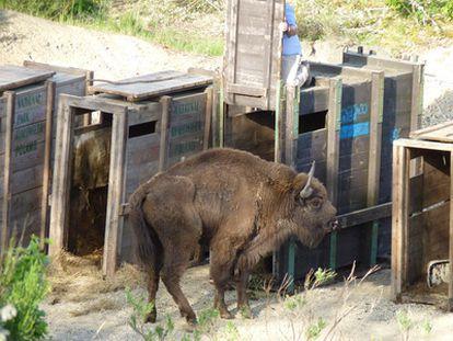 Uno de los siete bisontes traídos a España sale del jaulón.