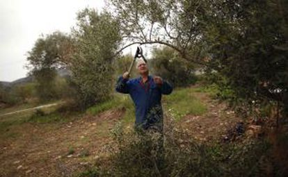 Un hombre poda un olivo en el campo de Ronda, en Málaga.