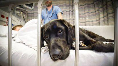Un perro labrador acompaña a un niño autista en un hospital.