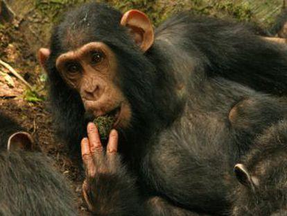 Han sido testigos de la aparición y desarrollo de una innovadora forma de beber en estos simios