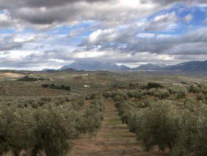 Olivos en los campos de Jaén