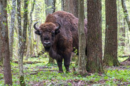 Un bisonte europeo en el parque nacional de Bialowieza (Polonia).