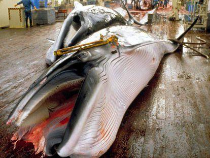 Una ballena capturada por pescadores japoneses en 2008.