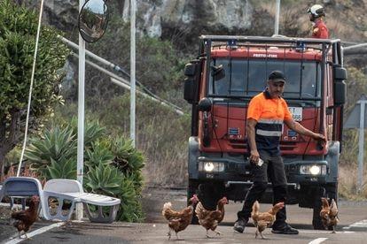 Voluntario dispersando gallinas ante el avance de la lava en Todoque, La Palma.