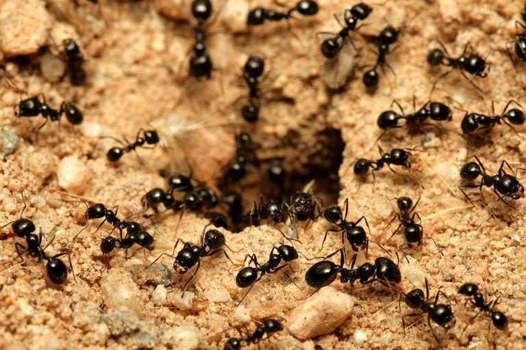 Black garden ants infected by a fungus wander away from the nest to die.