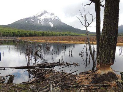 Daños causados por castores en Tierra del Fuego.