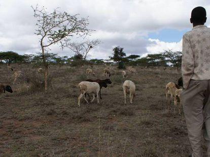 Un pastor conduce a su rebaño por los pastizales del condado de Kajiado, en el valle del Rift, (Kenia).