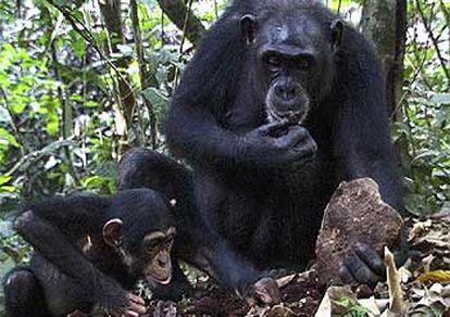 Un chimpancé hembra enseña a su cría a cascar nueces con una piedra en Costa de Marfil.