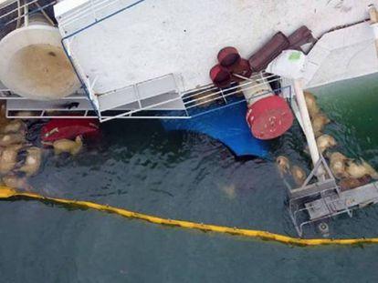 Imagen de Animals Internacional de ovejas muertas junto al barco naufragado en el mar Negro. En vídeo, imágenes del buque.