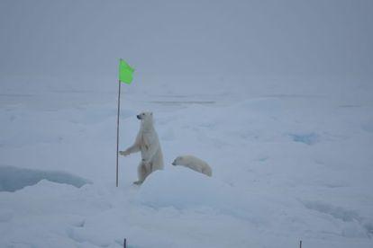 Dos osos polares se acercaron al campamento de los investigadores /AWI
