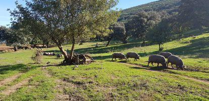 Una piara de cerdos en la sierra de Cádiz, en una imagen de la organización agraria Asaja.