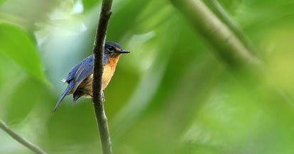 Una de las subespecies descubiertas, el pájaro Togian Jungle-Flycatcher.