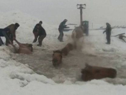 Un grupo de granjeros rusos salva a unas yeguas del hielo. En vídeo, imágenes del rescate.