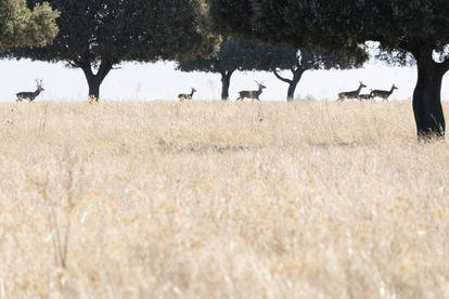 Ciervos, durante la berrea, en el parque nacional de Cabañeros, que estuvo a punto de convertirse en campo de tiro.