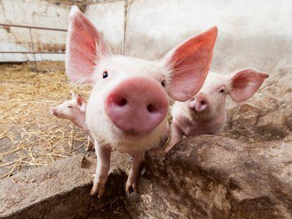 Reto 'Comer menos carne desde ya'. Día 1: conoce lo que sucede en granjas y mataderos