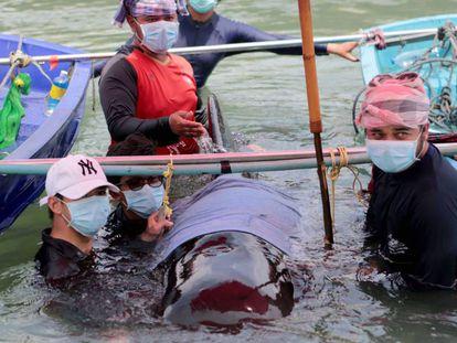 Varios biólogos, junto a la ballena que murió en Tailandia tras ingerir 80 bolsas de plástico.