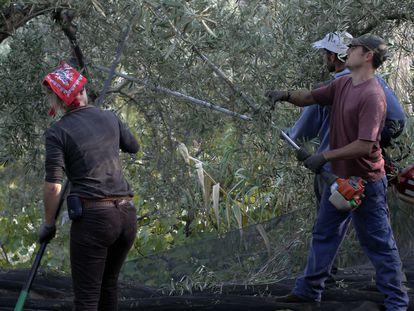 Tres trabajadores varean un olivar en Jaén.