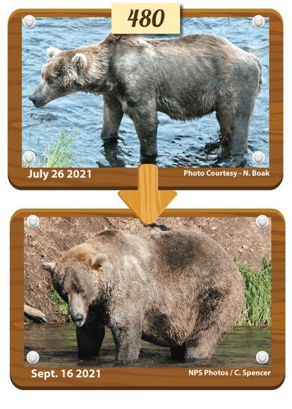 'Otis', ganador de la Semana del Oso Gordo de Alaska, antes y después de incrementar su peso para la hibernación.