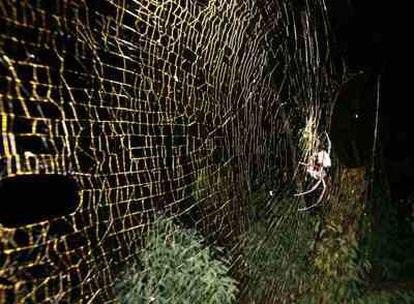 La tela de una araña <i>Nephila inaurata</i> mide más de un metro de diámetro.
