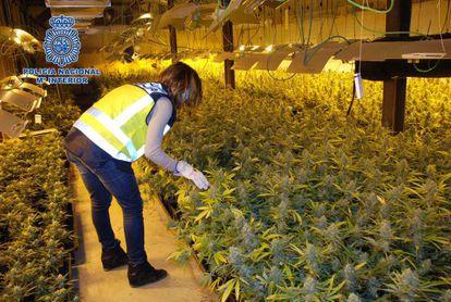 Nave descubierta en Lleida el pasado marzo para la producción de marihuana, con más de 2.300 plantas y 105 focos de alta potencia.
