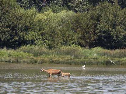 Aves y ciervos en el humedal de Salburua.
